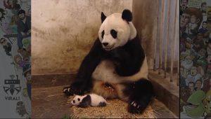 بچه پاندا عطسه میکند ویدئویی بسیار کوتاه از دنیای حیوانات که وایرال شد